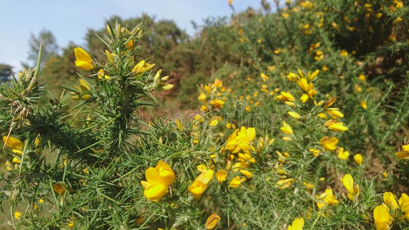 Żółty kolcolista krzaka kwiat fotografia royalty free