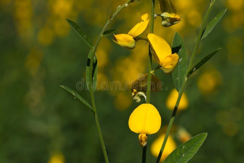 Żółty konopie zdjęcia royalty free