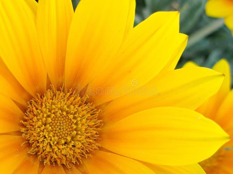 Download żółty kwiat obraz stock. Obraz złożonej z szczegółowy, kwiecisty - 145247