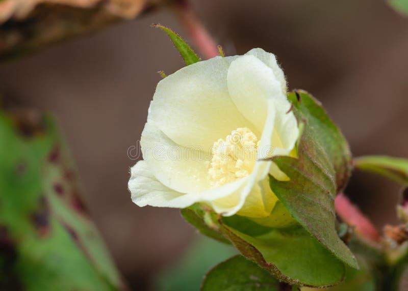 Żółty kwiat Bawełniany Boll obrazy royalty free