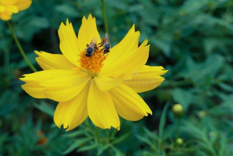 Żółty kwiat i zbliżenie pszczół , żółty kwiat kosmosu z latającą pszczołą miodną zdjęcie royalty free