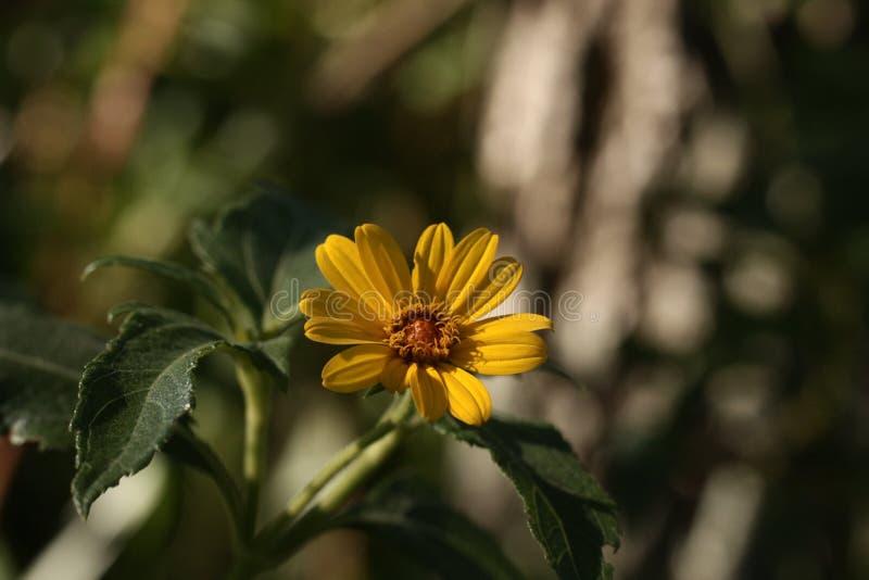 Żółty kwiat jest ładnym widokiem fotografia stock