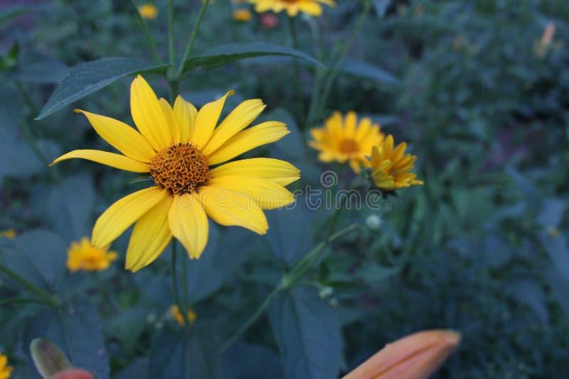 Żółty kwiat na błękitnym tle fotografia stock