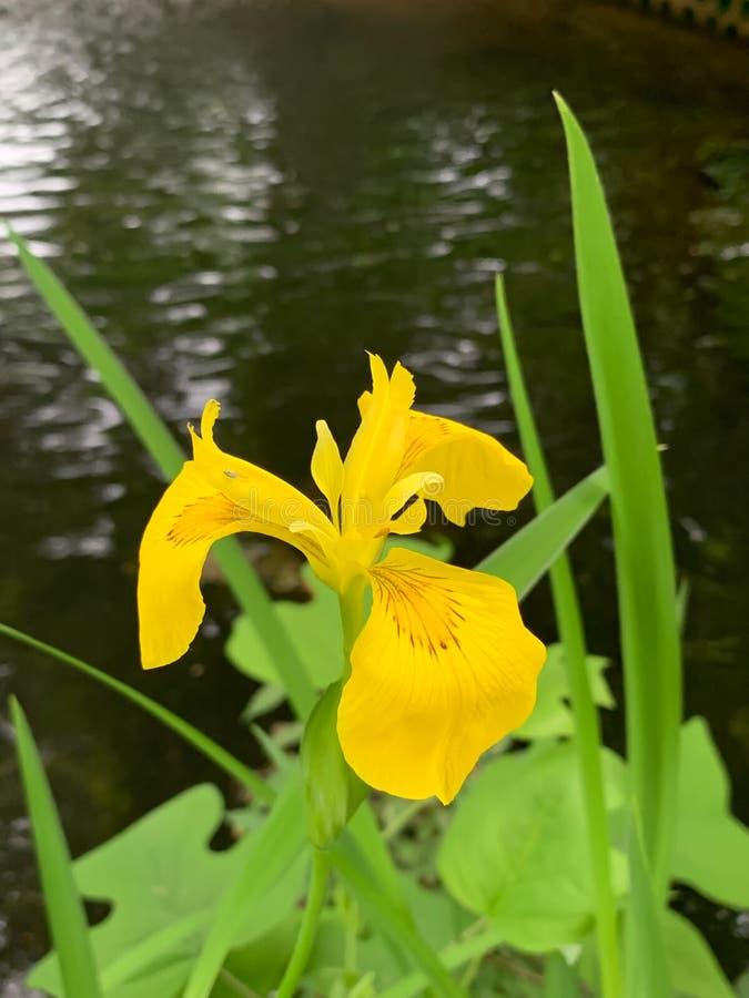 Żółty kwiat przy rzeki strony tłem zdjęcie royalty free