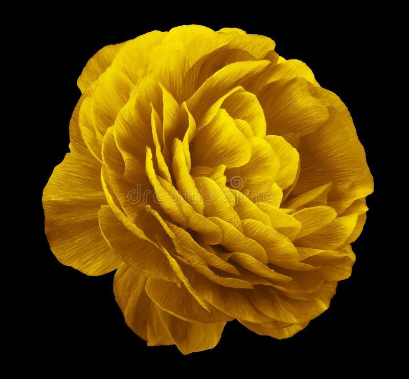Żółty kwiat róży Kwiat izolowany na czarnym tle Brak cieni ze ścieżką przycinającą Zbliżenie fotografia royalty free