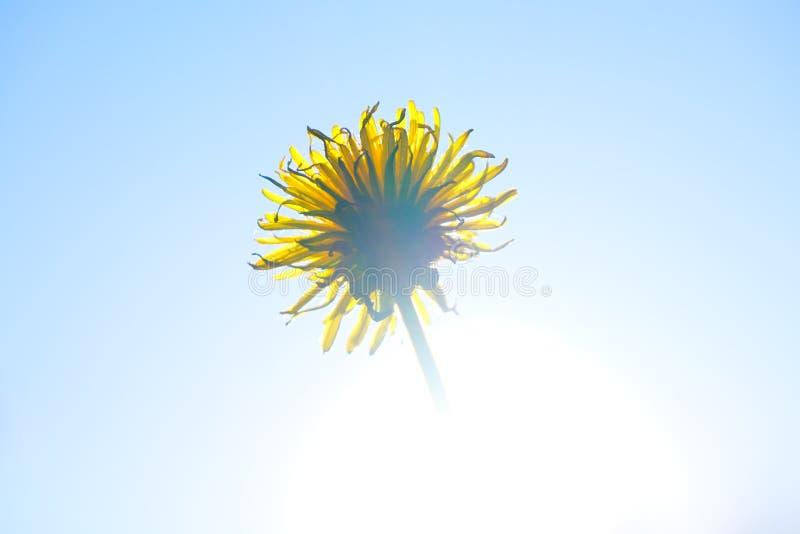 Żółty kwiat w jaskrawym słońcu zdjęcia stock