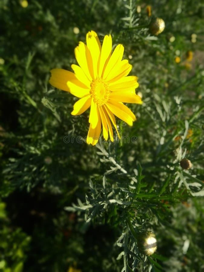 żółty kwiat w parku patrzeje w ten sposób pięknym z zielonymi liśćmi zdjęcie stock
