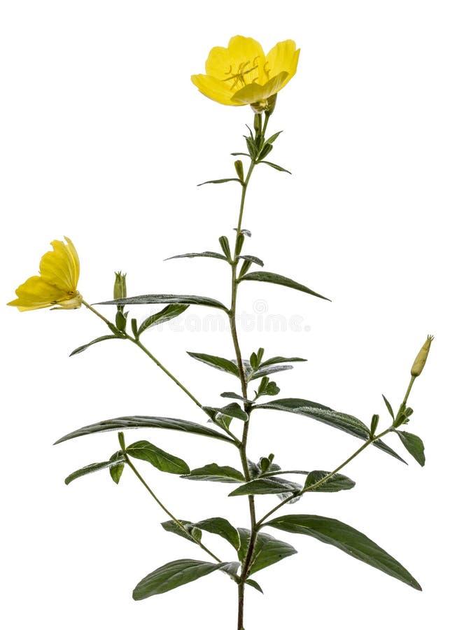 Żółty kwiat wieczór pierwiosnek, lat Oenothera, odizolowywający na w obraz stock