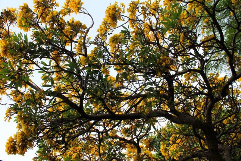 Żółty kwiat złoty drzewny Tabebuia Chrysantha w Ang pasku, Tajlandia obraz royalty free