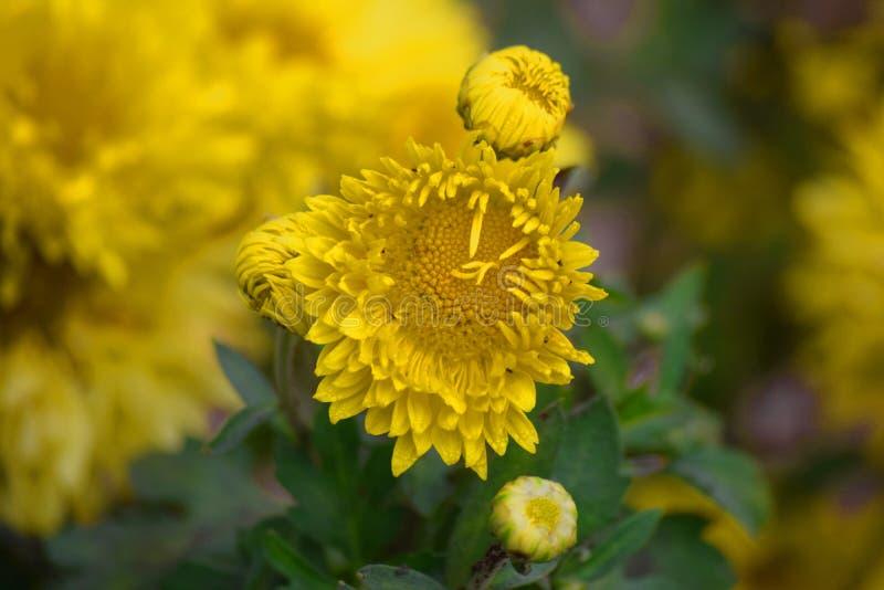 Żółty kwiat z plamy tłem zdjęcia royalty free