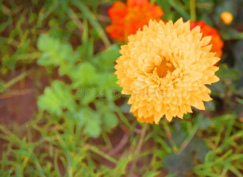 Żółty kwiat z plamy tłem obraz royalty free