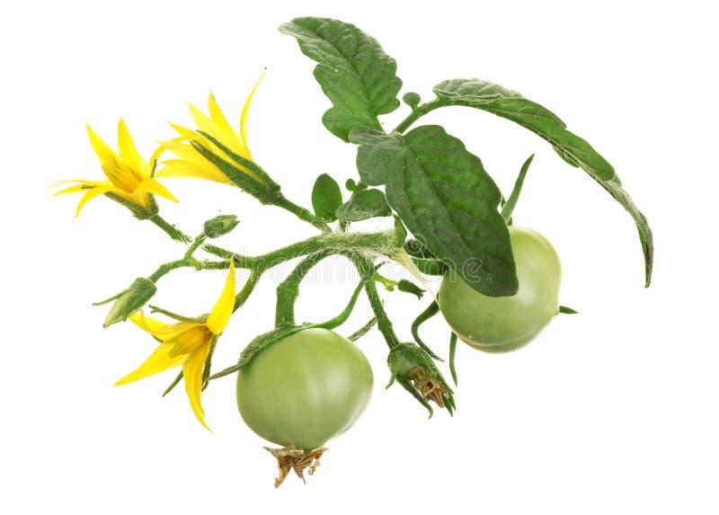 Żółty kwiat z zielonym pomidorem odizolowywającym na whtie tle fotografia stock