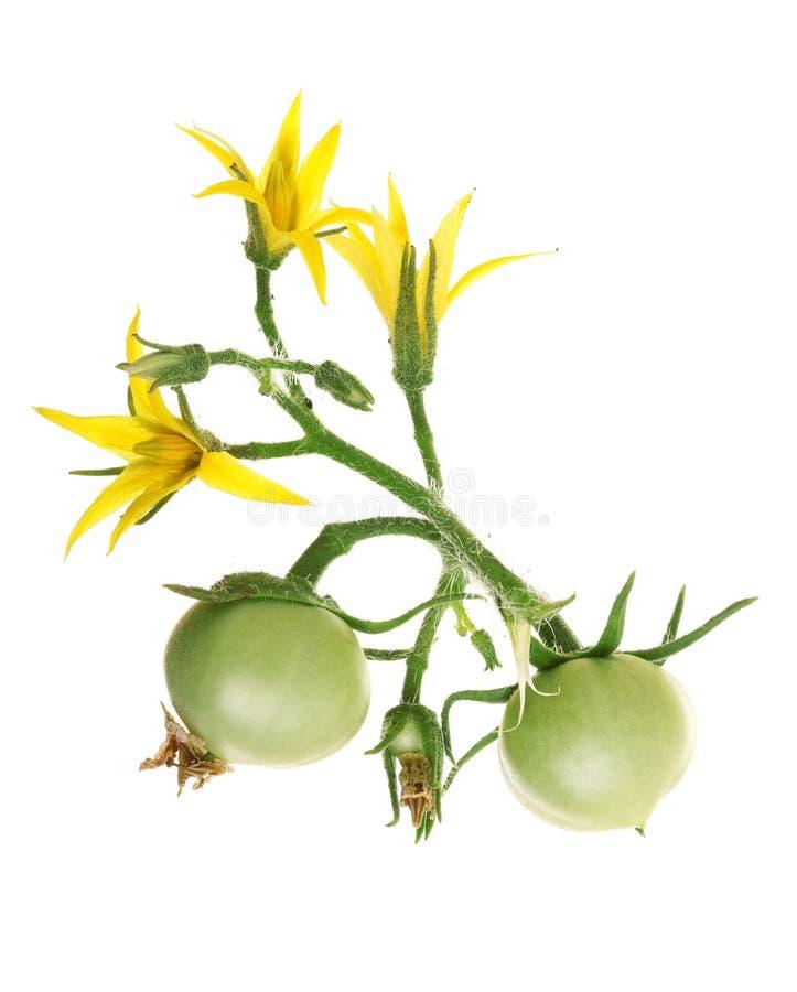 Żółty kwiat z zielonym pomidorem odizolowywającym na whtie tle fotografia royalty free