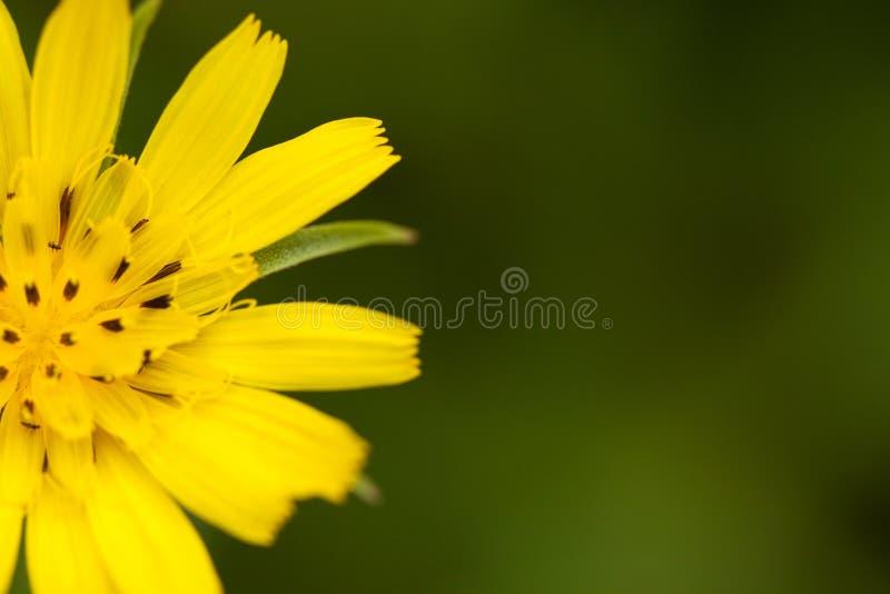 Żółty kwiatu Crepis fotografia stock