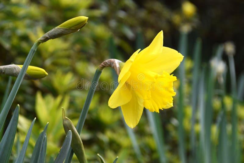 Żółty kwiatu daffodil obrazy royalty free