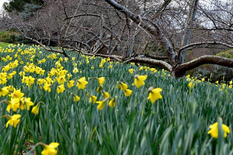 Żółty kwiatu daffodil obraz royalty free