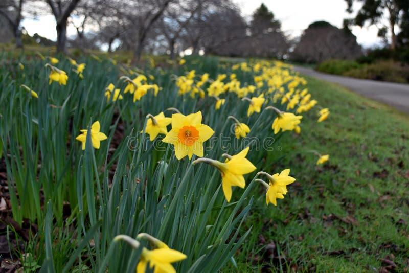 Żółty kwiatu daffodil fotografia royalty free