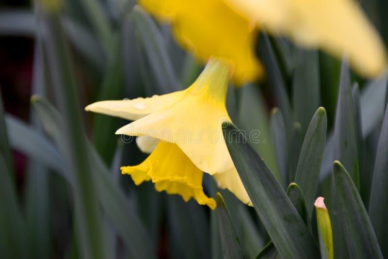 Żółty kwiatu daffodil zdjęcie royalty free