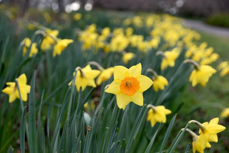 Żółty kwiatu daffodil fotografia stock