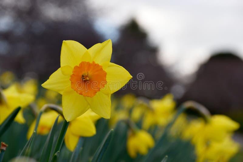 Żółty kwiatu daffodil zdjęcia royalty free