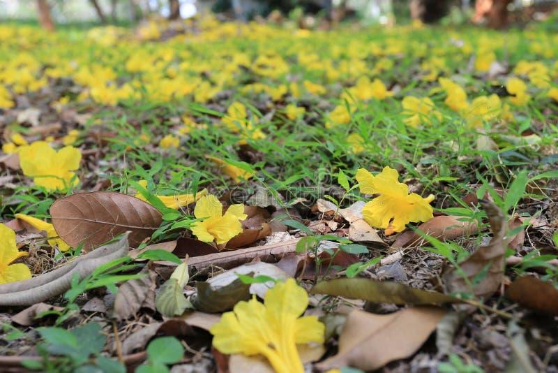 Żółty kwiatu kwiat żółty tubowy drzewo lub Paragwajski trumpe obraz royalty free