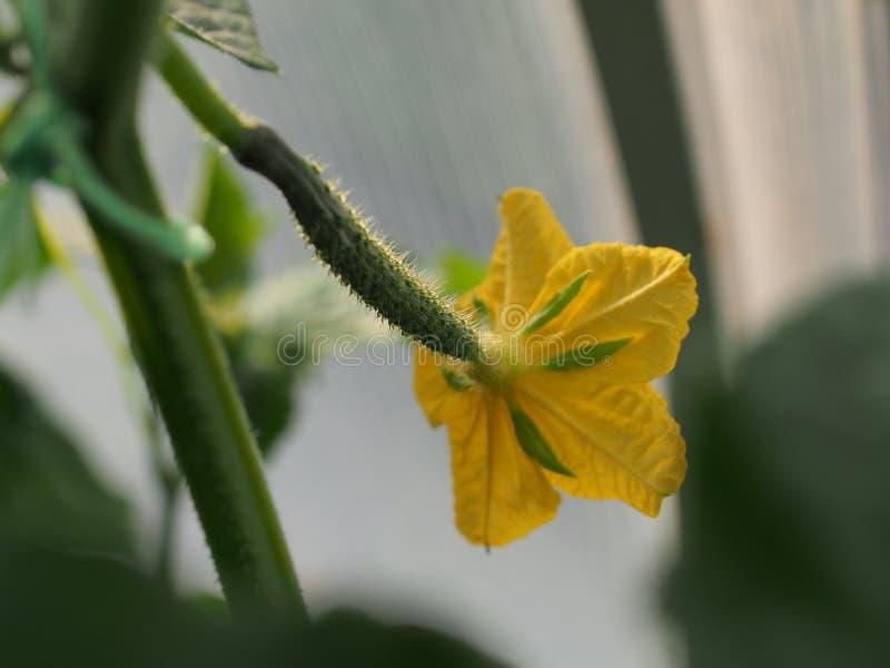 Żółty kwiatu pączek ogórek z jajnikiem Olericulture Rolnictwo zdjęcia royalty free