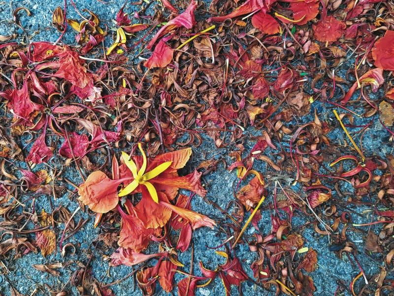 Żółty kwiatu płatek na rewolucjonistka płomienia kwiatów Suchym tle zdjęcia royalty free