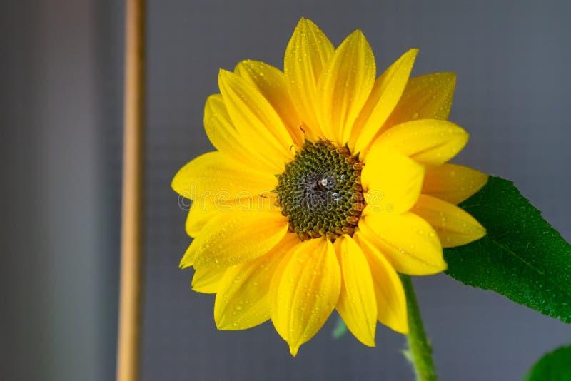 Żółty kwiatu zakończenie up obrazy royalty free
