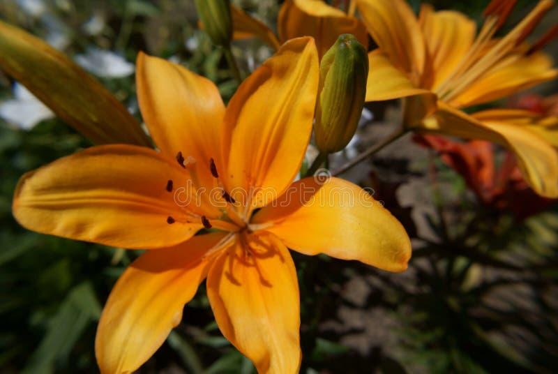 Żółty kwiaty ogrodu obraz stock