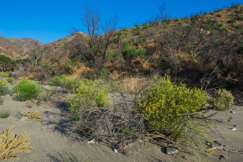 Żółty kwiecenie w Pustynnym piasku zdjęcia royalty free