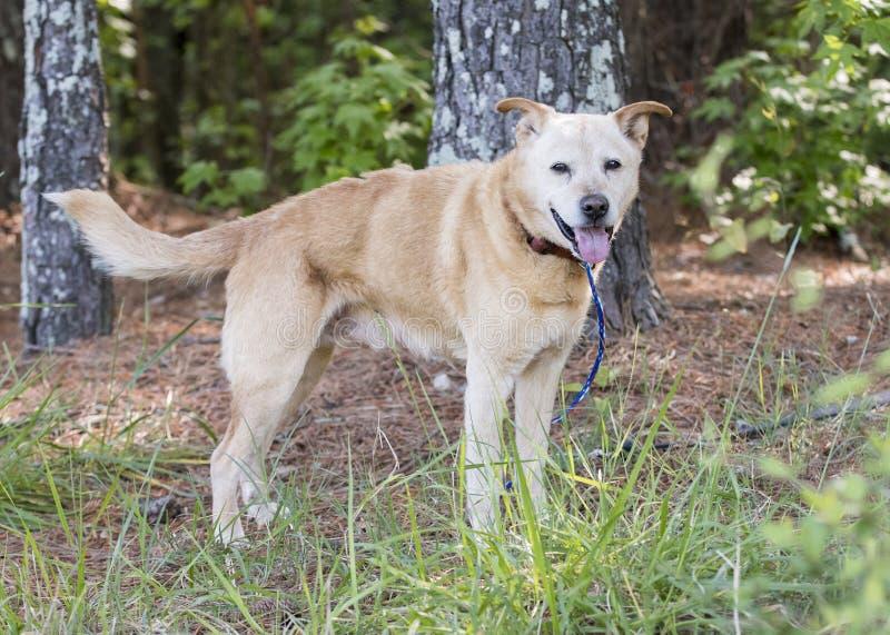 Żółty Lab Heeler mieszanka psa rasy na zewnątrz na smyczy obraz stock