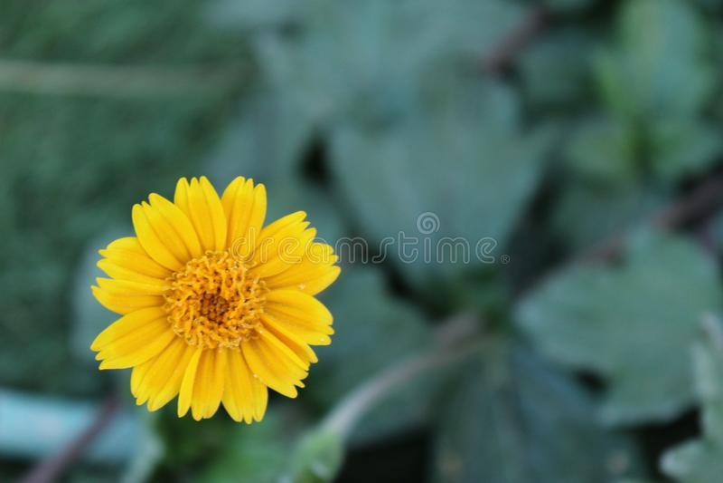 Żółty lato stokrotki kwiat, rozmyty tło, pokój dla teksta zdjęcia stock