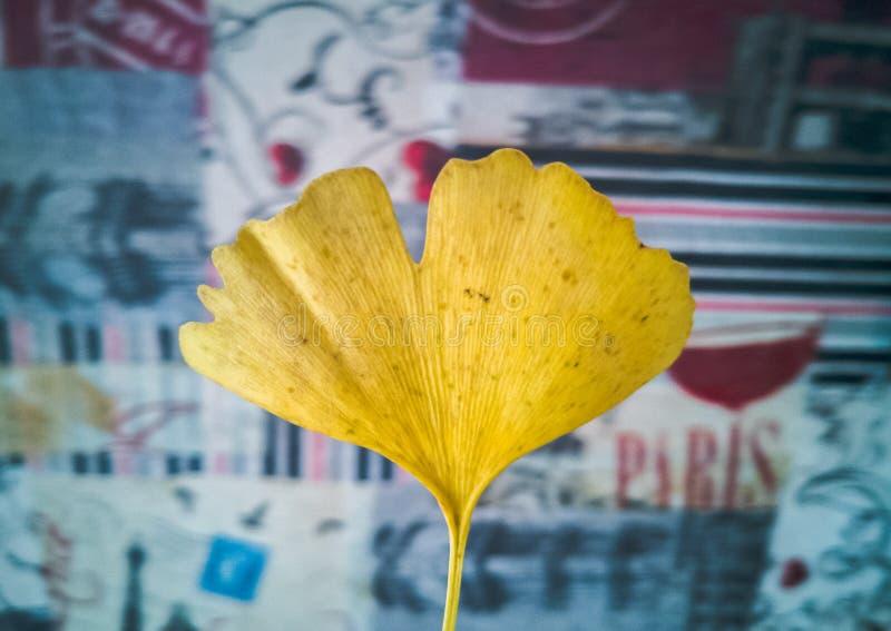 Żółty liść ginkgo biloba drzewo nad pastelowym tłem zdjęcie stock