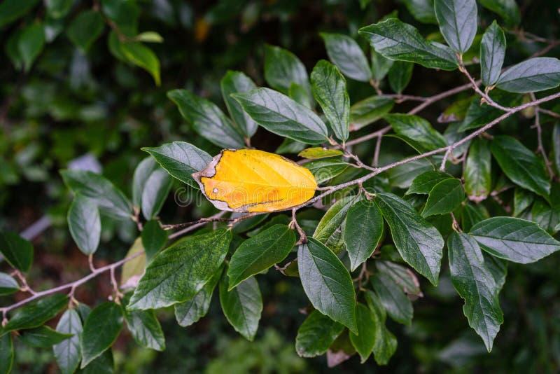 Żółty liść hamamelidaceae rośliny drzewa zakończenie w górę widoku z ciemnozielonymi liśćmi zdjęcia royalty free