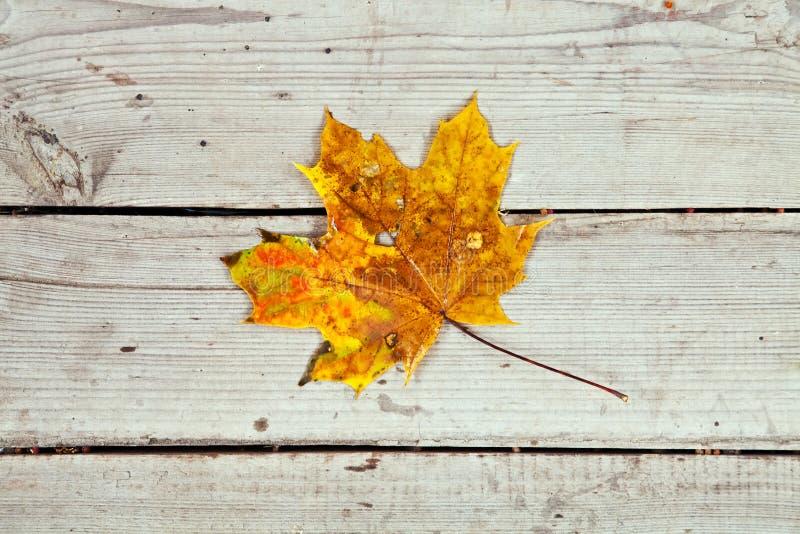 Żółty liść klonowy zdjęcia stock