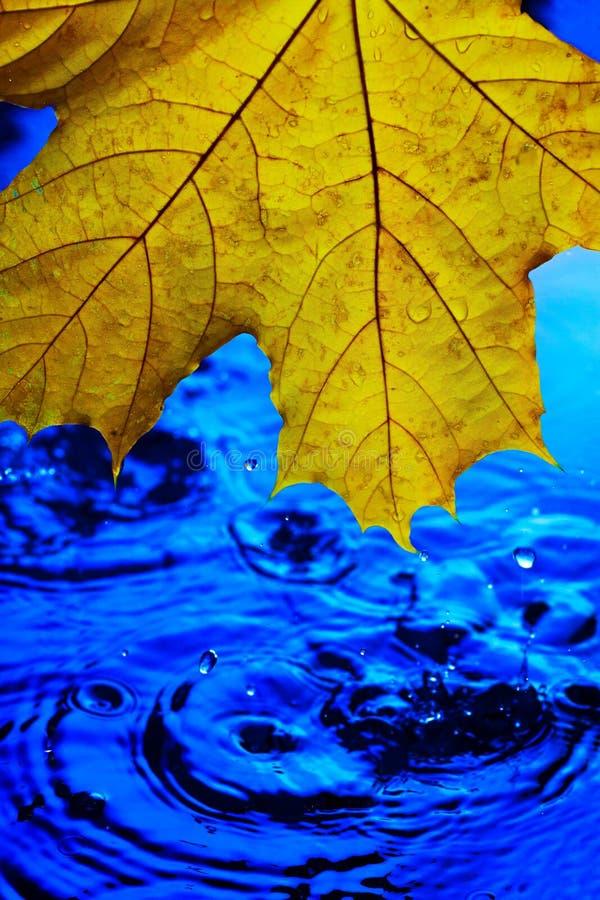 Żółty liść klonowy nad błękitne wody w kroplach i pluśnięciach Pojęcie przyjazd jesień ja ` s padać fotografia stock