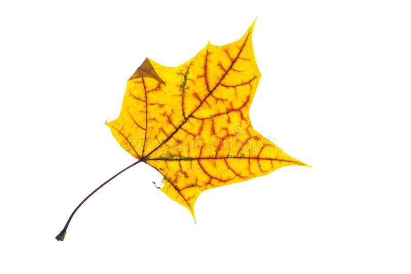 Żółty liść klonowy z czerwieni żyłami w autmn kolorycie obraz royalty free