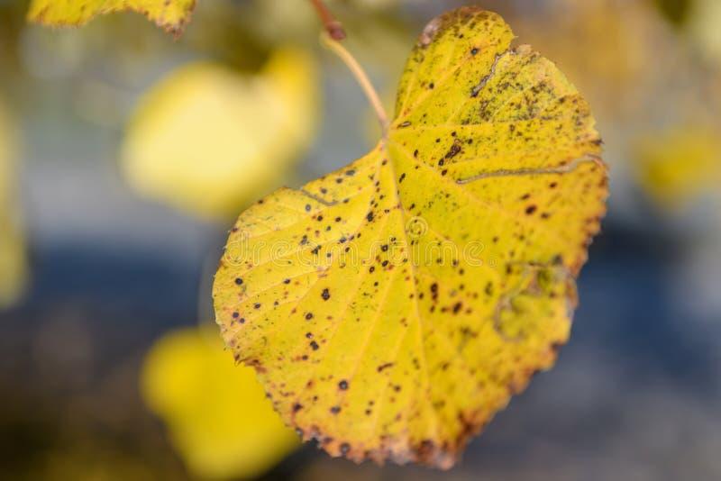 Żółty liść na gałąź zdjęcia royalty free