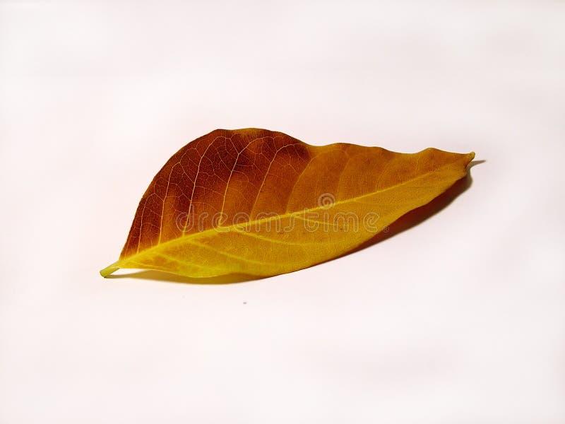 Żółty liści zdjęcie royalty free