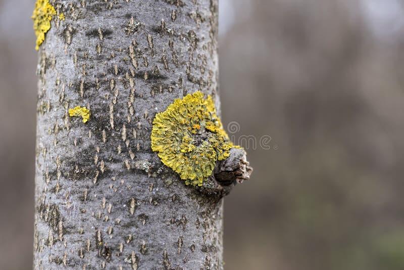Żółty liszaj na bagażniku drzewo fotografia royalty free