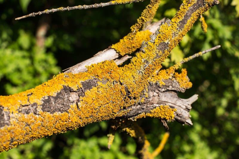 Żółty liszaj na spadać drzewie zdjęcia stock