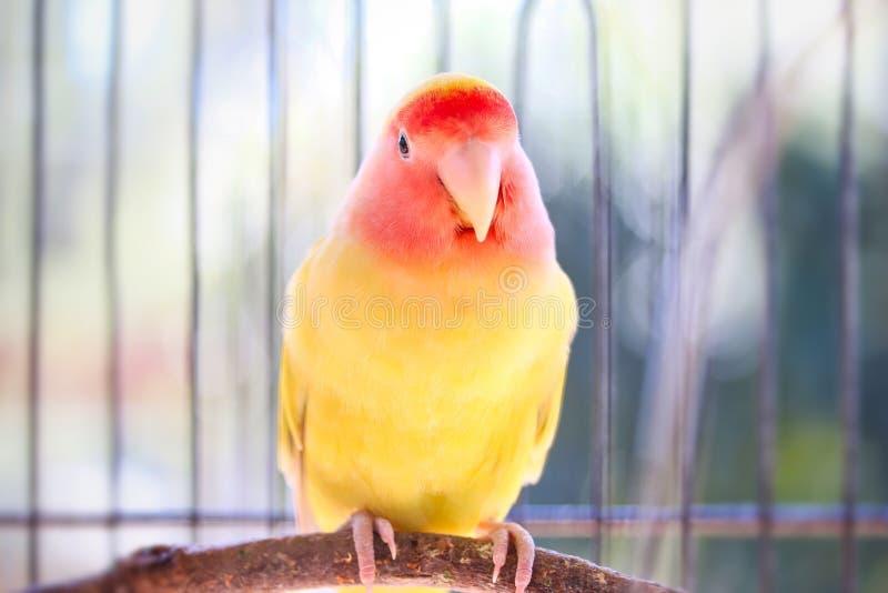 Żółty Lovebird w Ptasiej klatce obraz stock