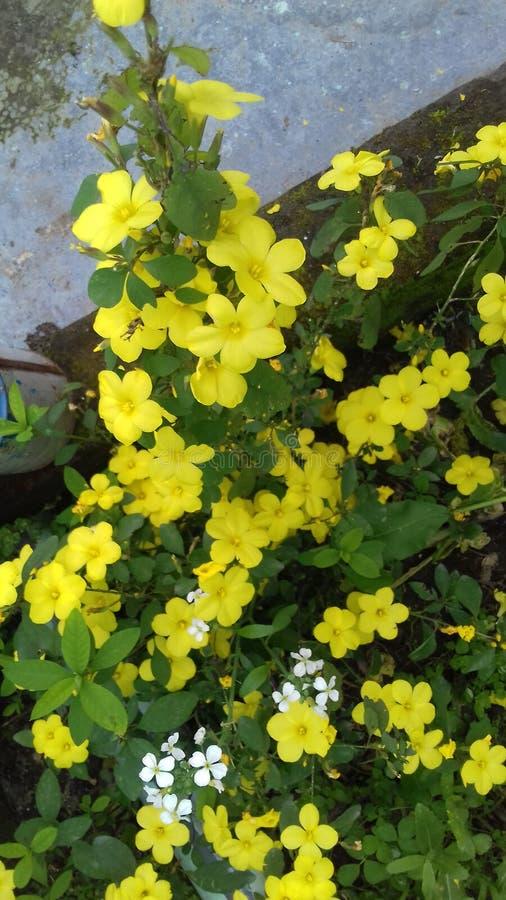 Żółty mały migotanie podołek w ziemi no! no! zdjęcia royalty free