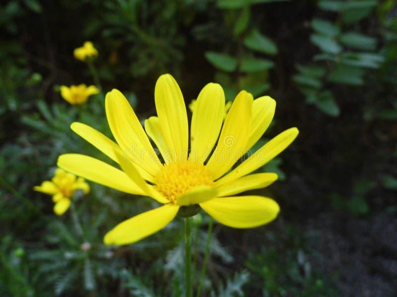 Żółty margarita kwiat w naturze zdjęcia royalty free