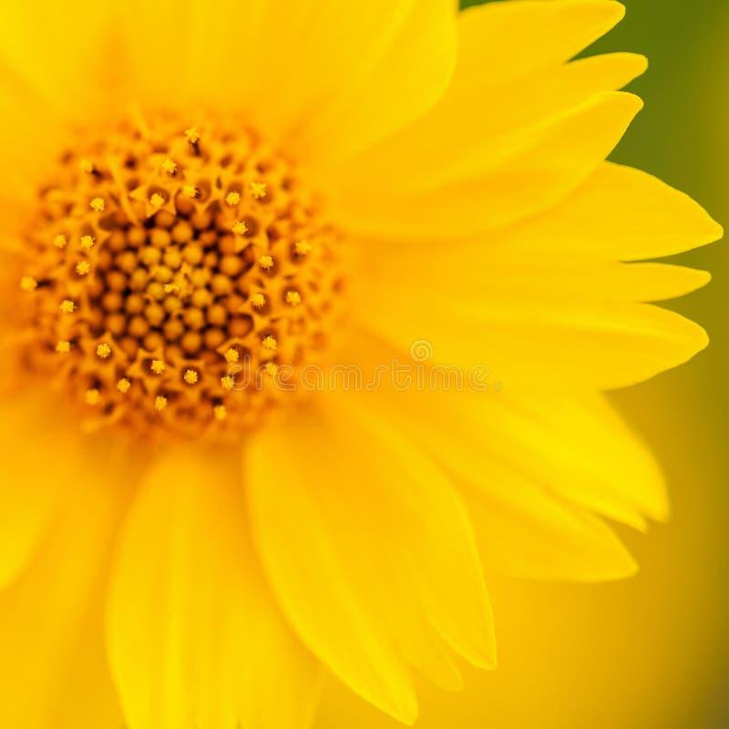 Żółty Meksykańskiego słonecznika Makro- strzał zdjęcia royalty free
