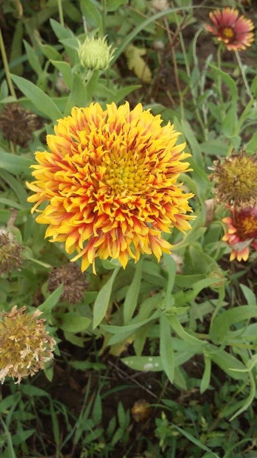 Żółty melodia kwiat zdjęcia royalty free