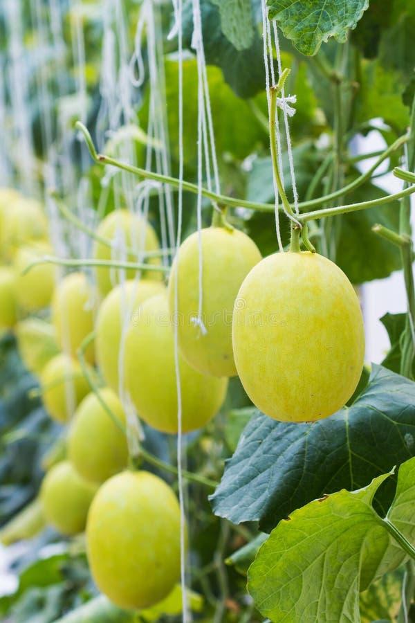 Żółty melon rosnący w szklarni fotografia royalty free