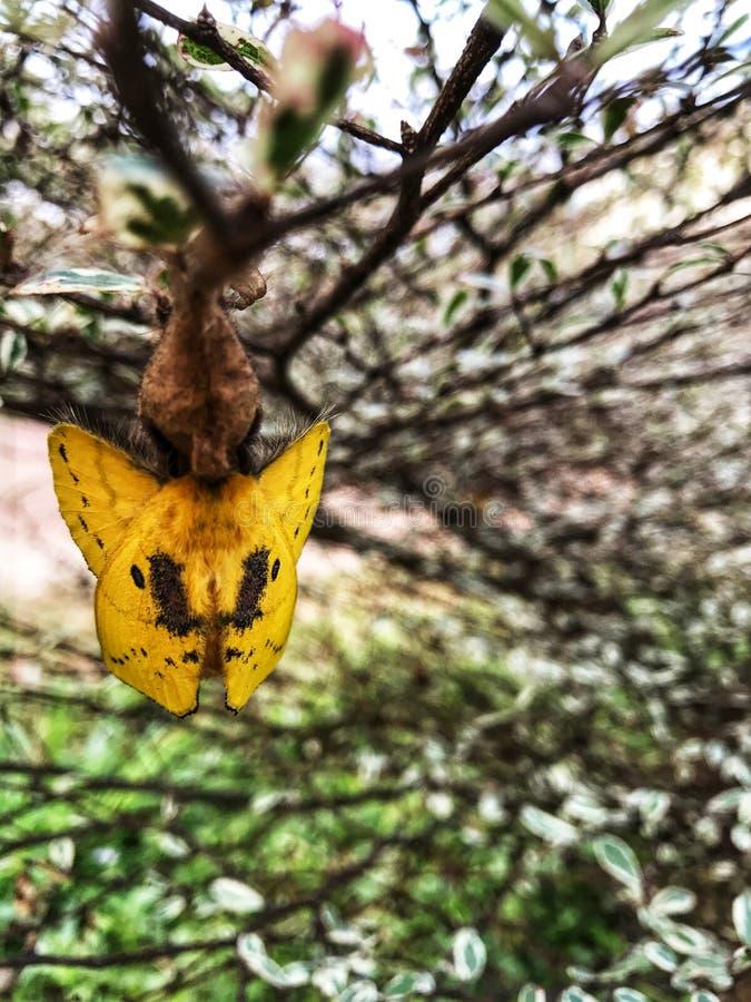 Żółty motyl jest wokoło opuszczać pupa zdjęcia stock