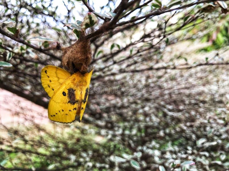 Żółty motyl jest wokoło opuszczać pupa fotografia royalty free