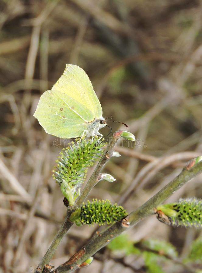 Żółty motyl, Lithuania zdjęcie royalty free